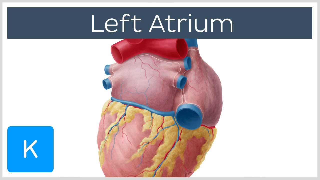 left atrium - human anatomy | kenhub - youtube, Human Body