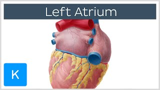 Left Atrium - Definition, Function & Anatomy - Human Anatomy | Kenhub