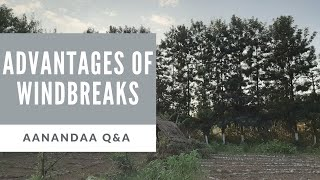 Q&A | how are windbreak trees essential?
