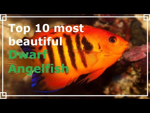 Top 10 Most Beautiful Dwarf Angelfish
