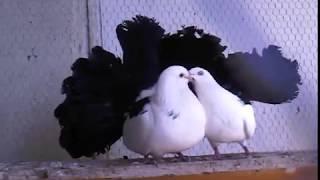 Sepet kuyruk,çiftleşmek bu kadar mı zor?,güvercin videoları