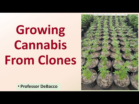 Growing Cannabis From Clones