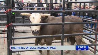 Bull riding comes to Madison Square Garden