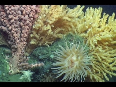 Deepwater Discoveries: Mid-Atlantic Canyons, Corals, and More