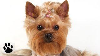 Породы собак - Йоркширский терьер. [Yorkshire Terrier (Dog Breed)]