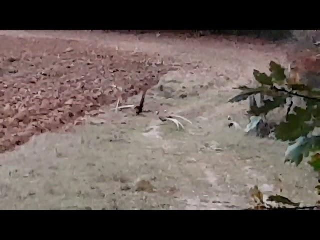Cock Pheasant Fight