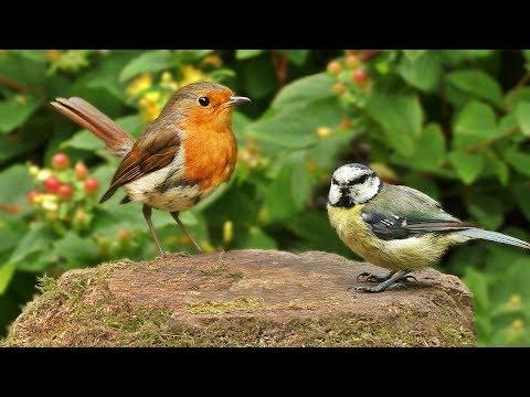 Videos for Cats : Little Bird Sounds