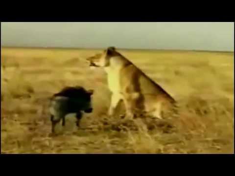 Thế Giới Động Vật:Heo Rừng hung hăng húc Sư tử