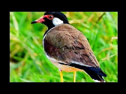 Alarm or Alert & Warning Call of Red wattled Lapwing Vanellus indicus)