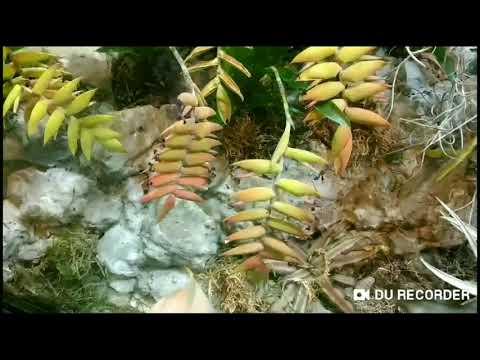Цветущие растения без корней, которые питаются пылью. Тилландсия.
