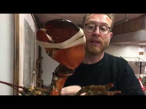 50 Yr Old LOBSTER The BIGGEST LOBSTER YOU'VE EVER SEEN  |  Nova Scotia Canada
