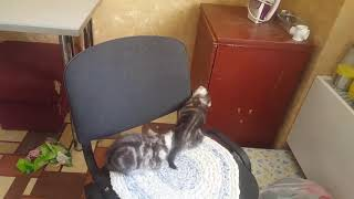 Котята вискас и голубая вислоухая )))