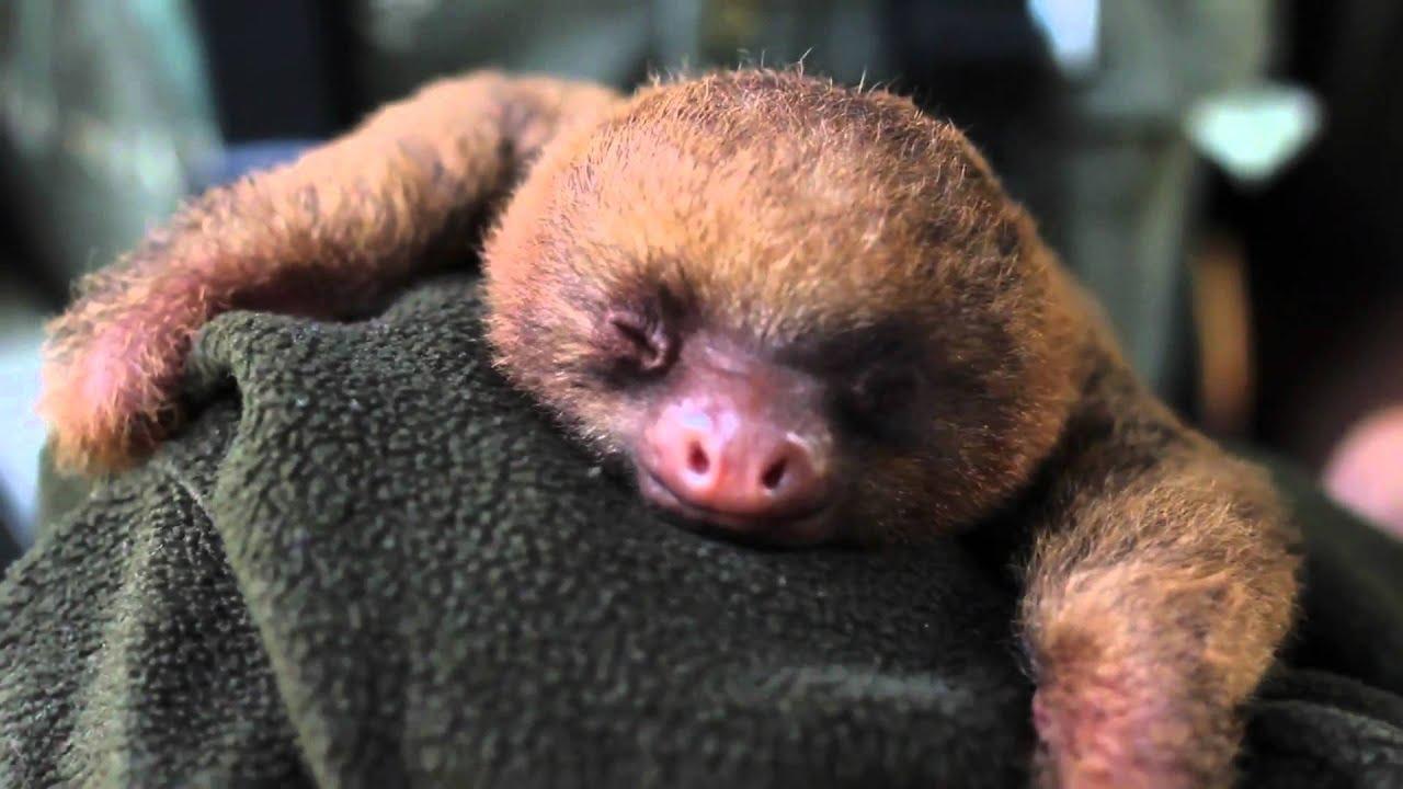 A Cute Puppy Wallpaper Cucciolo Di Bradipo Assonnato Sleepy Puppy Sloth Youtube