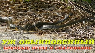 Уж Обыкновенный, Брачные Игры и Спаривание / Grass Snake, Mating