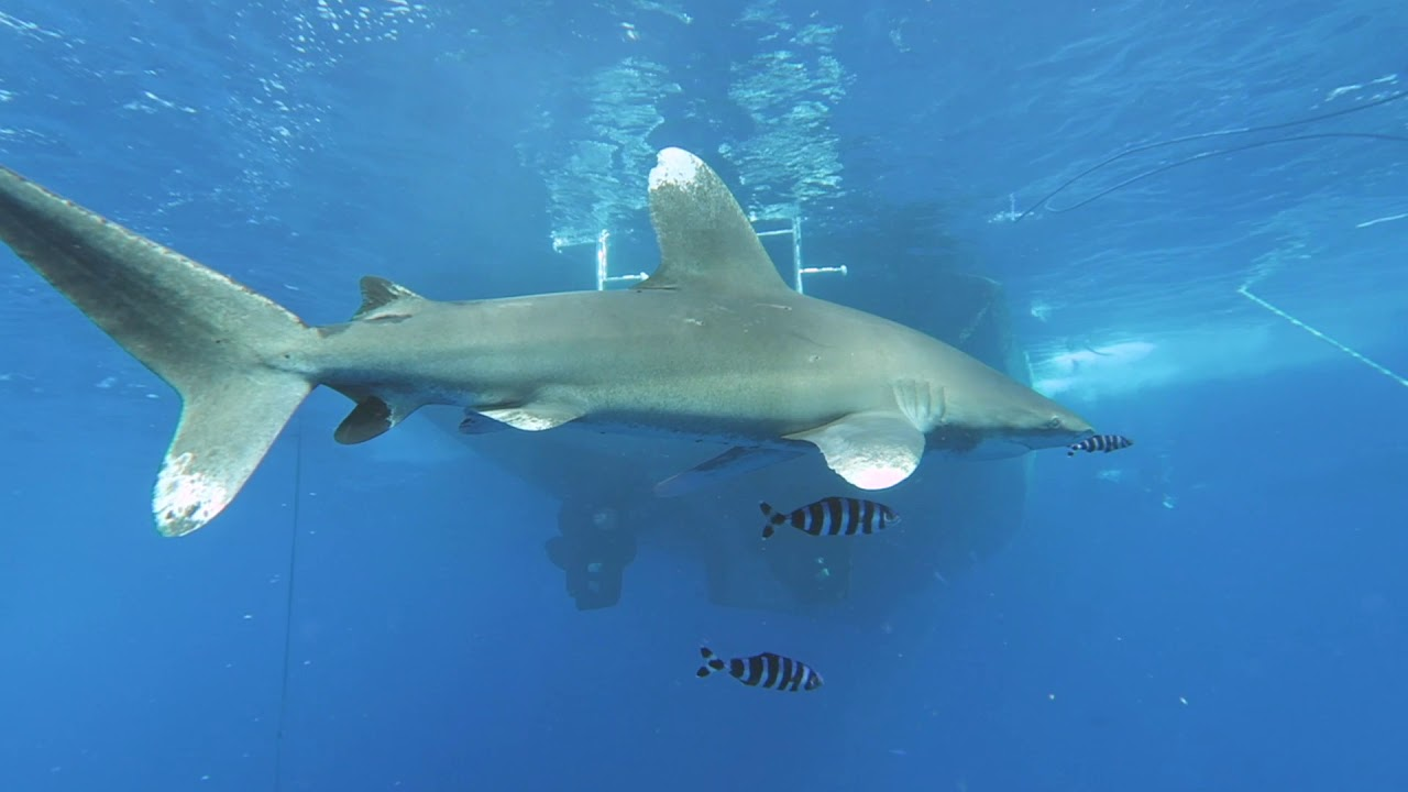 """Download Jacques Cousteau's """"Most Dangerous"""" Shark - The Oceanic White Tip"""