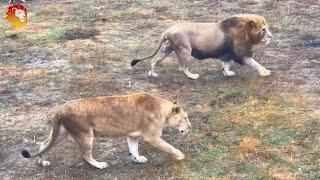 Львы Чип и Дейл под правлением жесткого диктатора. АРХИВ White Lions Taigan. ARCHIVE