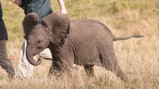 Cute Baby Elephant Orphans Raised By British Students