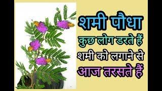 Shami ka paudha शमी का पौधा लगाने के लिए आज लोग तरसते हैं कि कैसे लगाएं shami plant