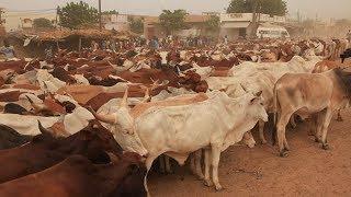 MAGAL TOUBA DECEMBRE 2013 : Arrivée des Boeufs à Touba chez Cheikh Béthio
