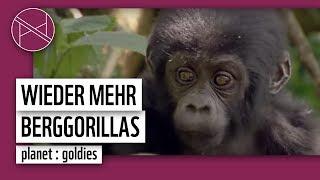 Erfolg für die Berggorillas  | WWF