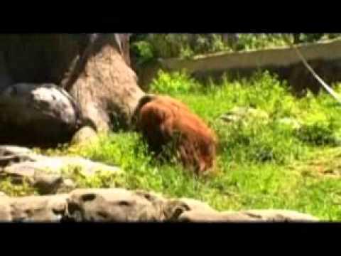 Zoo Atlanta Orangutans - April 26, 2009