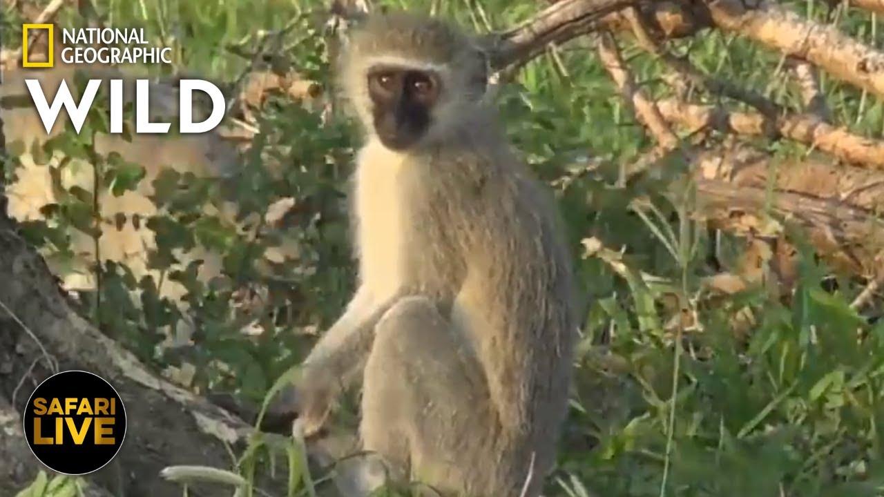 Safari Live - Day 290 | Nat Geo Wild