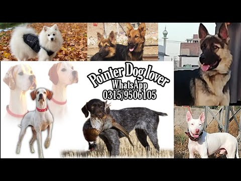 English Pointer hunting testing and  kohati gultair bully Dogs other…..