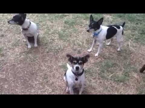 One Beagle Hound and Three Rat Terriers Pretty Sure The Want a Treat