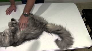 Maine Coon Cat Breed Review