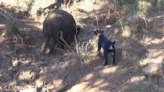 jagd terrier iron du haut de koeking débourage sur sanglier à 4 mois