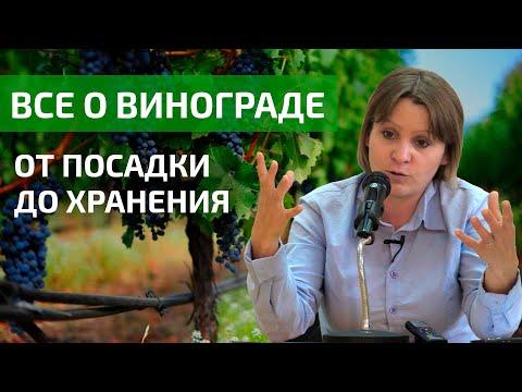 Как выращивать виноград в средней полосе России?