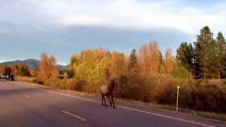 Motorcycle chased down highway by elk in rut