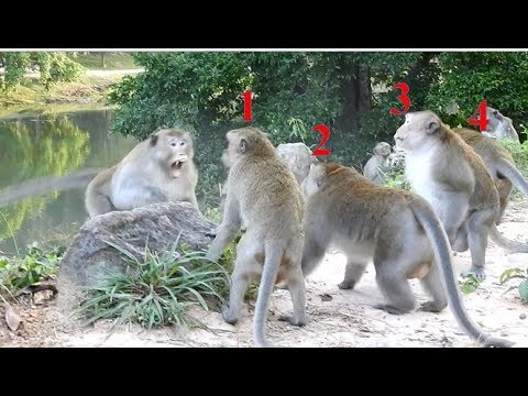 OMG!  big monkey attack 4 monkeys to get more power in group