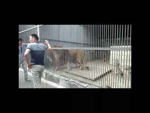 Двое парней дразнили и кидали камни во львов в зоопарке Караганды