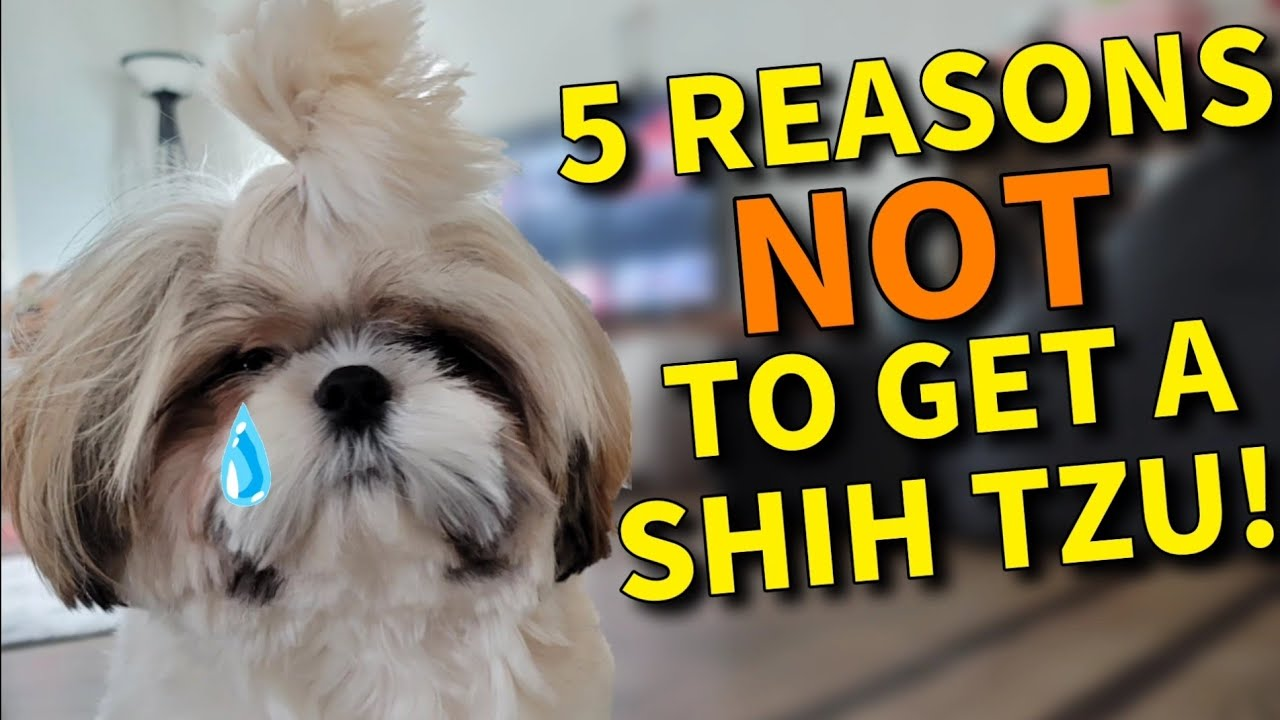 5 Reasons Why you should NOT get a Shih Tzu Puppy