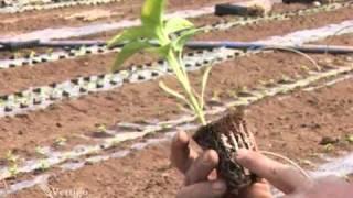 Rasadjivanje i proizvodnja paprike pod f...
