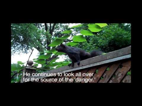Imitating a squirrel alarm call