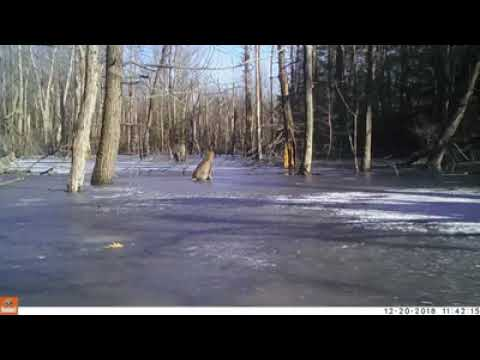 Kevin Johnson - LOOK: Bobcat Sighting Westhampton, Massachusetts
