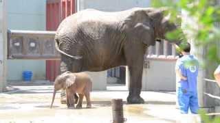 とべ動物園 アフリカゾウの赤ちゃんの砥愛(とあちゃん) その2