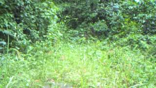 Video Chimpanzees moving between forest patches in the Issa Valley, Ugalla, western Tanzania download MP3, 3GP, MP4, WEBM, AVI, FLV November 2017
