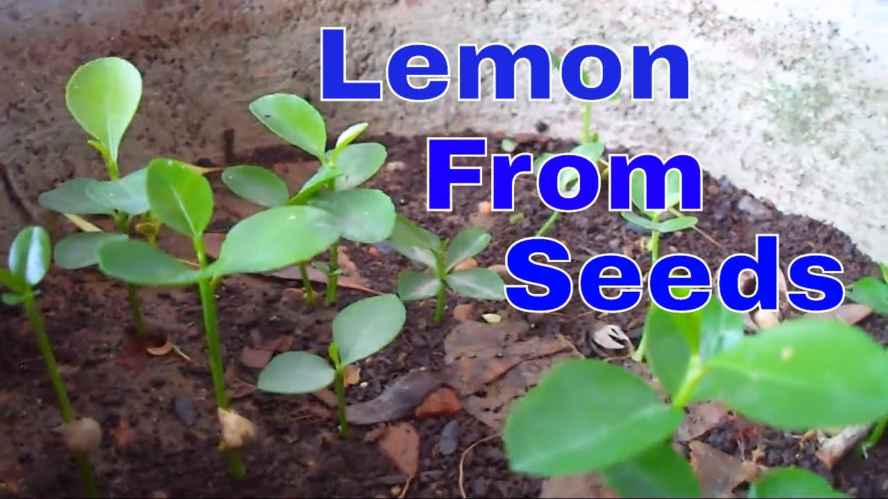 ऐसे उगाये नींबू को बीज से /How to Grow Lemon From Seeds/tips & care  #mammalbonsai