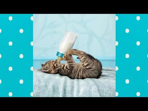 KITTENS DRINKING MILK ALL DAY   Funny Everyday Compilation