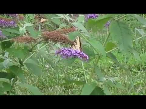 Butterfly Bush with Yellow Butterfly on Purple Flower in East Hartford, Connecticut September, 2011