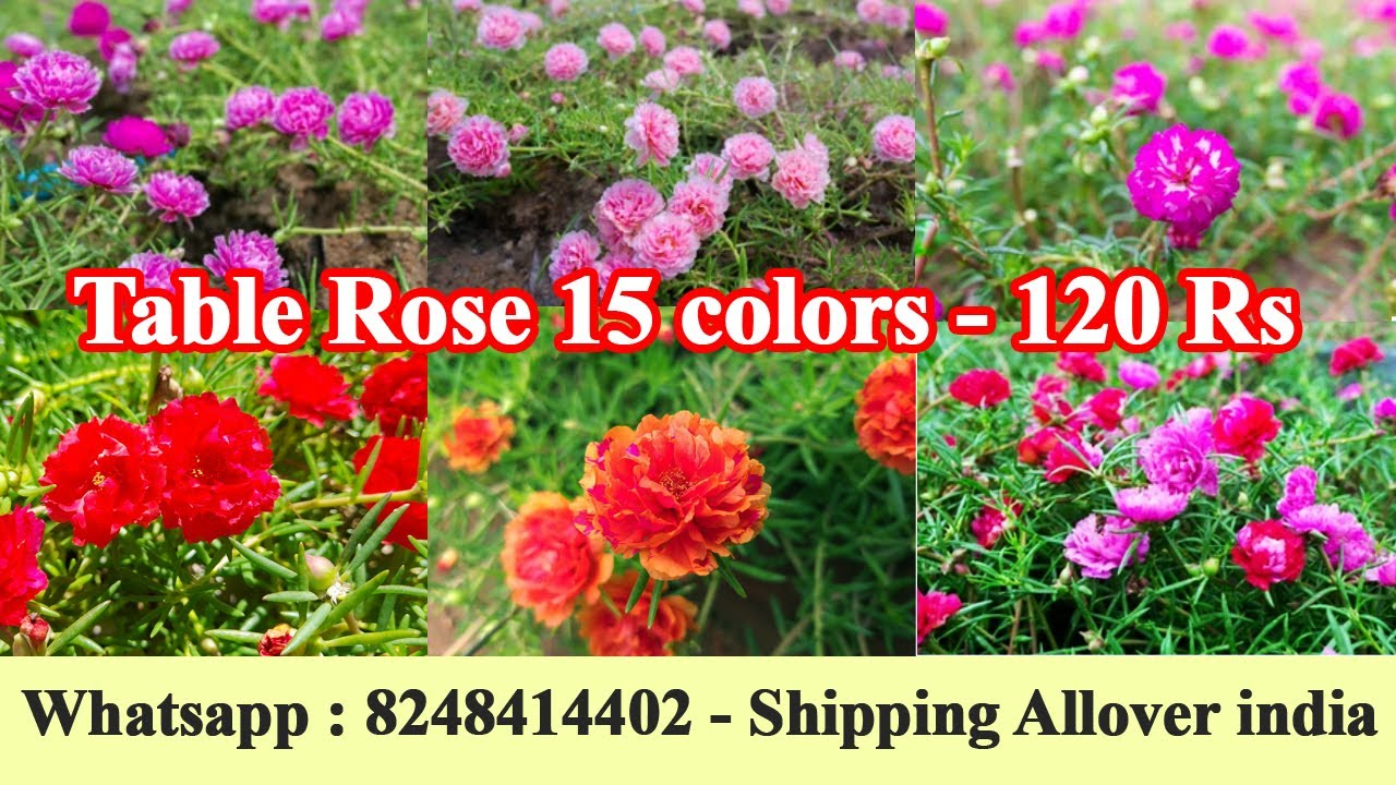 Rose plants for sale in bangalore dating 8