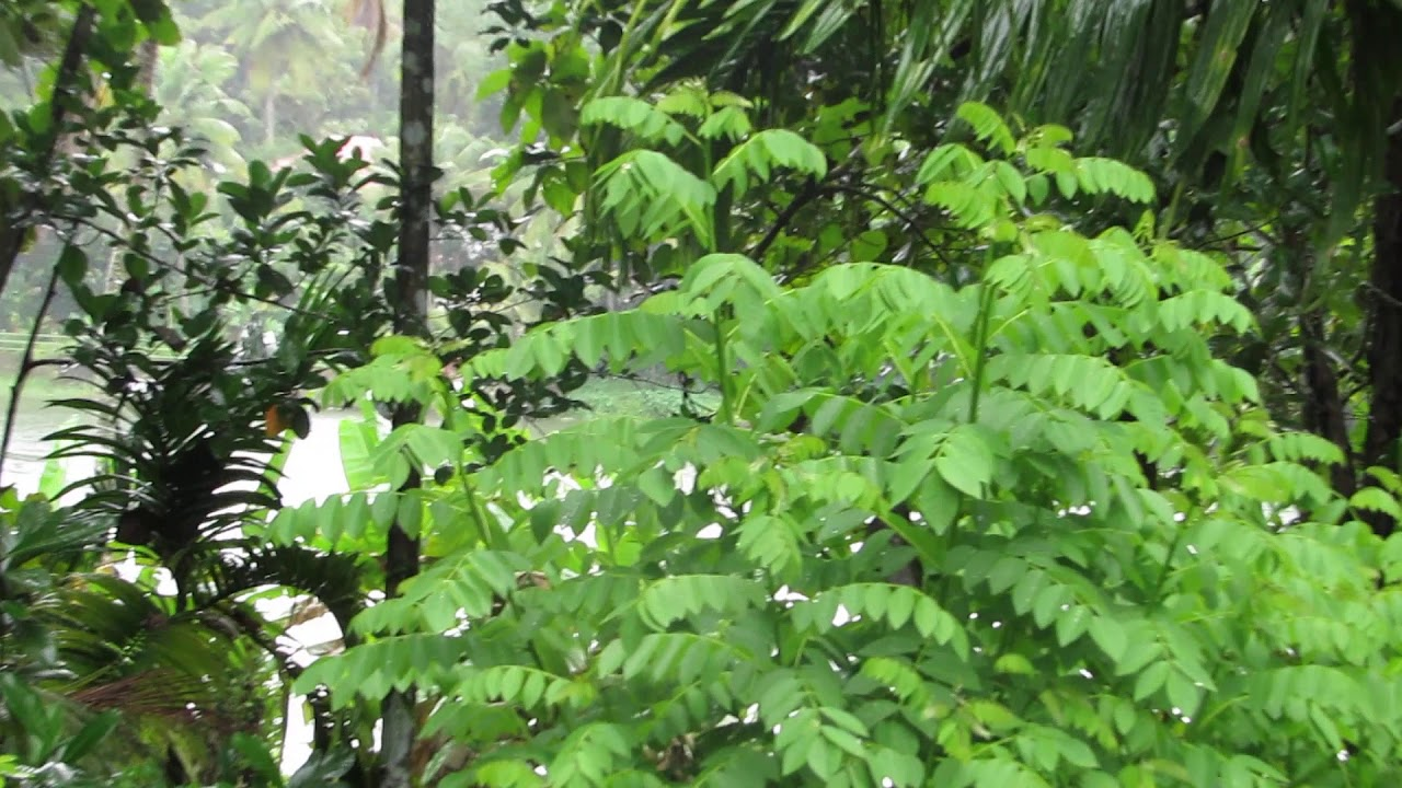 How Does Rain Appear In Tropical Evergreen Forest Youtube Tropical evergreen forests are in the tropical regions of the world and can be rainforests or drier evergreen forests. youtube
