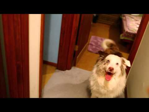 My dog, Ozzie, (Australian Shepherd) does tricks.