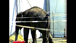 Ringling Bros. Circus is NO FUN FOR ELEPHANTS! - End The Elephant Tragedy America!