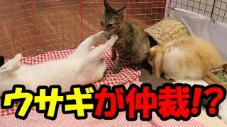うさぎ部屋で2匹の猫、小雨と操が大乱闘。 自分の部屋を荒らされ大迷惑...