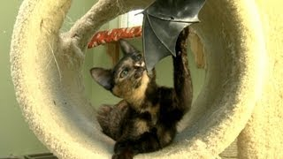 Kitten Makes A Rubber Bat Fly Like An Eagle