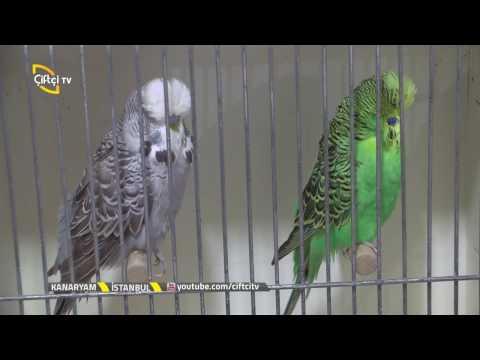 Kanaryam-Muhabbet Kuşları Bakım ve Besleme...